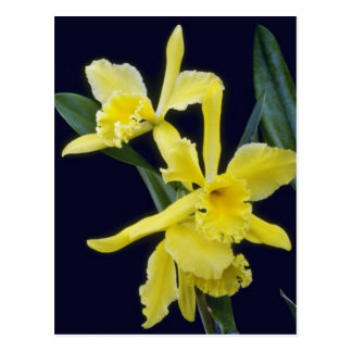 yellow Ermine Orange Glo Brassocattleya flowers Postcards