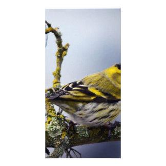 yellow Eurasian siskin on a bare branch in winter Card