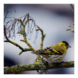 yellow Eurasian siskin on a bare branch in winter Poster