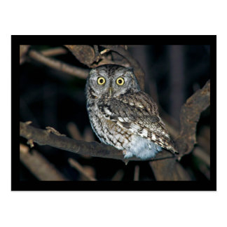 Yellow Eyed Eastern Screech Owl at Midnight Postcard