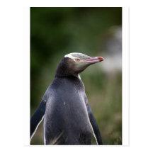 Yellow eyed penguin New Zealand Post Cards