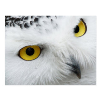 Yellow-eyed Snowy Owl Postcards