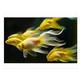 Yellow Fancy Aquarium Goldfish Postcard