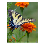 Yellow female Eastern Tiger Swallowtail Postcard