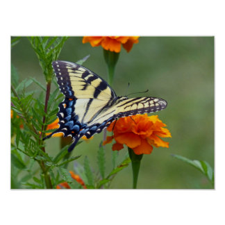 Yellow female Eastern Tiger Swallowtail Poster