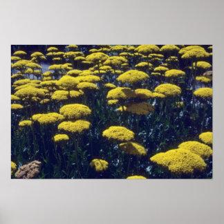 yellow Fern Leaf Yarrow,(Achillea Filipendulina) f Posters