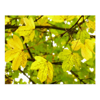 Yellow Field Maple Leaves Postcard