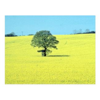 yellow Field of rape in flower flowers Postcard