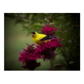 Yellow Finch on Purple Bee Balm Flower - Wild Bird Postcard
