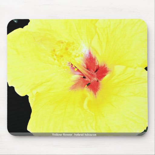 Yellow flower, hybrid hibiscus mouse pad