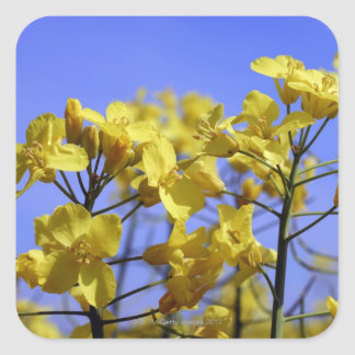 Yellow flowers of an agricutural crop of oil 2 square sticker