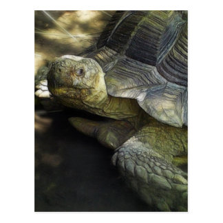 Yellow-footed Tortoise 1 Postcard