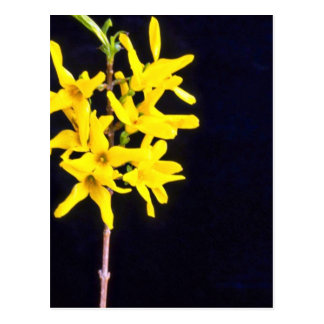 Yellow Forsythia Twig flowers Postcard