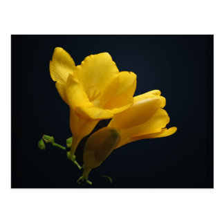 Yellow Freesia Blossoms Postcard