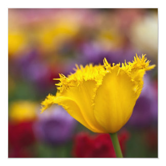 Yellow Fringed Tulip Card