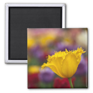 Yellow Fringed Tulip Magnet