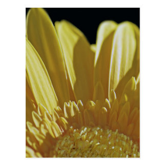 Yellow Gerbera Daisy Postcard