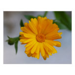 Yellow Gerbera Daisy Wildflower Print