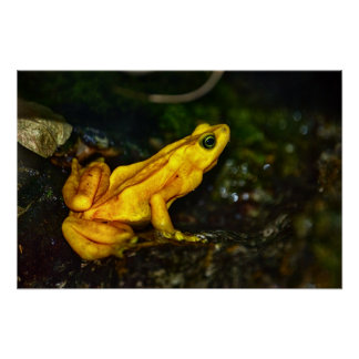 Yellow Golden Poison Frog Poster