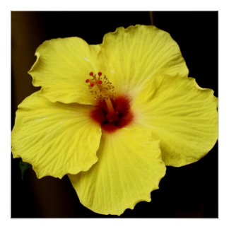 Yellow Gorgeous Hibiscus Chinese Rose photography Poster