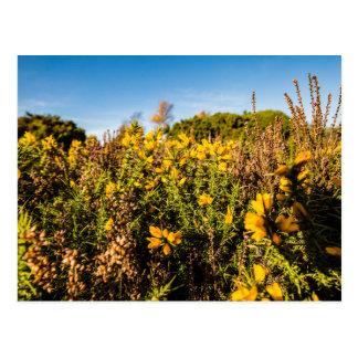 """Yellow Gorse"" design postcards"