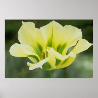Yellow & Green Tulip Poster