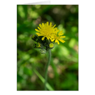 Yellow Hawkweed Wildflower Card