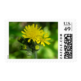 Yellow Hawkweed Wildflower Postage Stamps