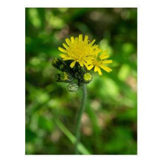Yellow Hawkweed Wildflower Postcard