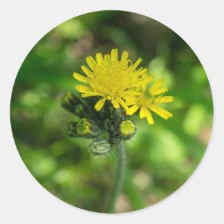 Yellow Hawkweed Wildflower Sticker