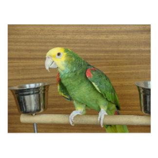 Yellow-Headed Amazon Parrot Postcard