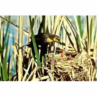 Yellow-headed Blackbird feeding young Cutout