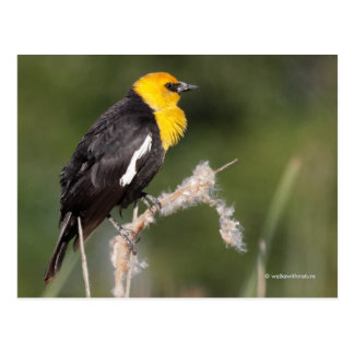 Yellow-Headed Blackbird in the Marsh Postcard