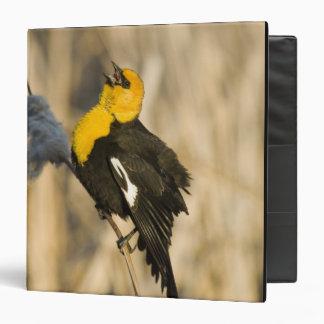 Yellow Headed Blackbird singing in cattails in Vinyl Binder