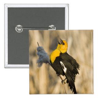 Yellow Headed Blackbird singing in cattails in Button