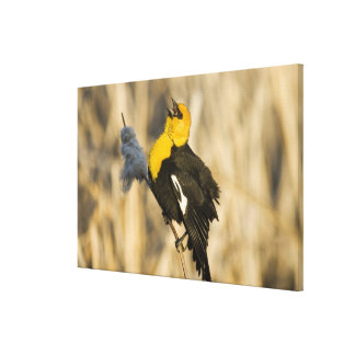 Yellow Headed Blackbird singing in cattails in Canvas Print