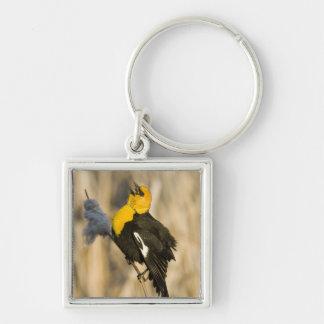Yellow Headed Blackbird singing in cattails in Keychain