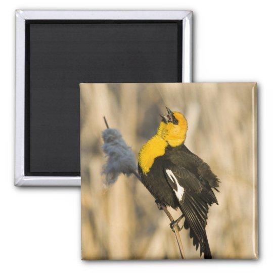 Yellow Headed Blackbird singing in cattails in Magnet