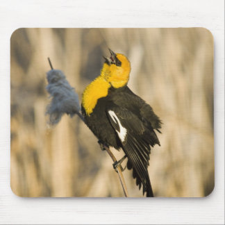 Yellow Headed Blackbird singing in cattails in Mouse Pad