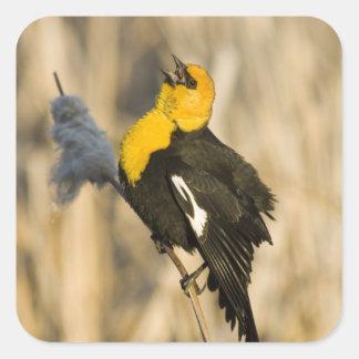 Yellow Headed Blackbird singing in cattails in Square Sticker