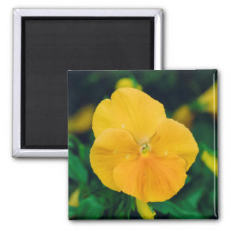 Yellow hearts-ease refrigerator magnet