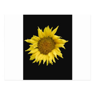 Yellow Helianthus Post Cards