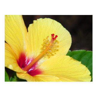Yellow Hibiscus Postcard