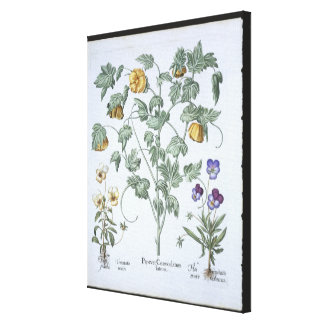 Yellow Horned Poppy, from the 'Hortus Eystettensis Canvas Print