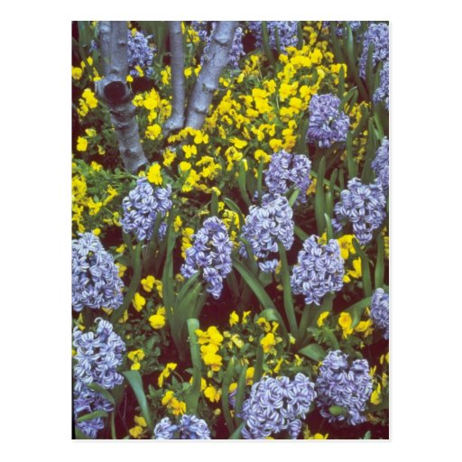 yellow Hyacinths 'Bismark' interplanted with Viola Postcards