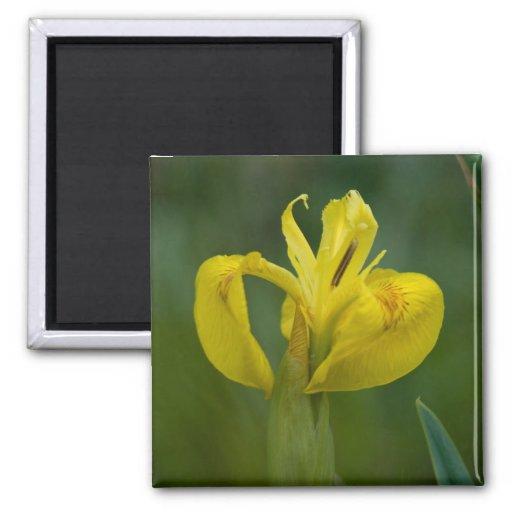 Yellow Iris 2 Inch Square Magnet