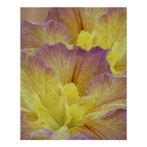 Yellow iris and its meaning poster