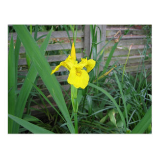 Yellow Iris Postcard
