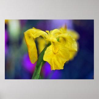 Yellow Iris Print