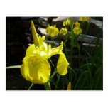 Yellow Irises Postcard